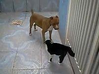 Isso que é briga. pit bull contra gato - YouTube.MP4